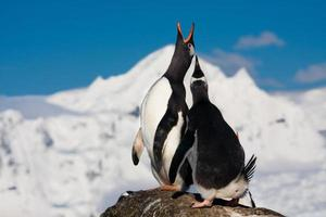 pinguins cantando