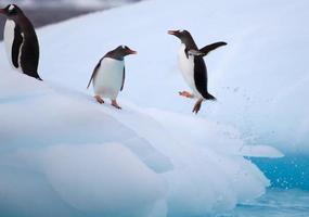 pinguins gentoo pulando no iceberg