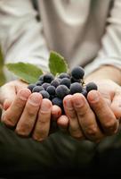 colheita de uvas foto