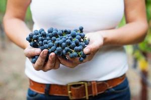 enólogo segurando uvas cabernet sauvignon