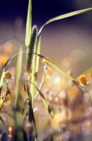 grama selvagem - timothy-grass foto