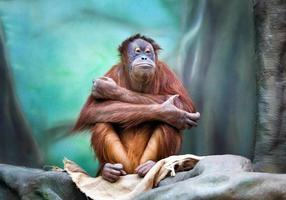 retrato de orangotango feminino foto