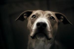 retrato de mistura de pit bull foto