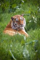 tigre em repouso na grama foto