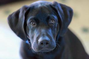 filhote de cachorro preto laboratório foto