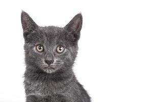 pequeno gato britânico cinzento