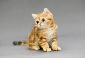 gatinho malhado britânico com olhos grandes foto