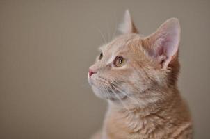 gato malhado creme (lado / perfil) foto