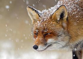 raposa vermelha em um cenário de inverno foto