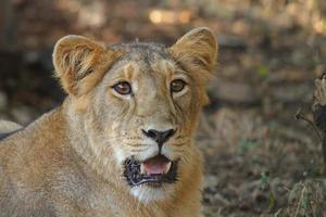 retrato de leoa asiática