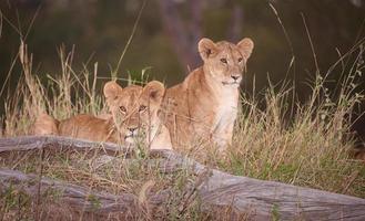 filhotes de leão (panthera leo) close-up foto