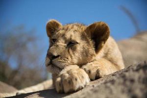 filhote de leão descansando foto