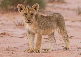 lindo filhote de leão na areia kalahari foto