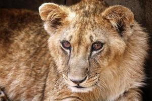 lindo filhote de leão foto