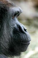 gorila foto