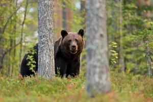 urso pardo na floresta foto