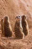 grupo de suricatos sentado