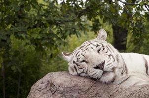cochilo tigre ii foto