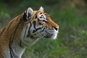 amur tigre foto