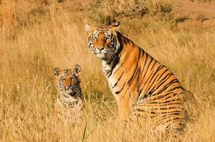 mãe tigre com seu filhote foto