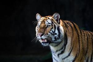 retrato de tigres de amur foto