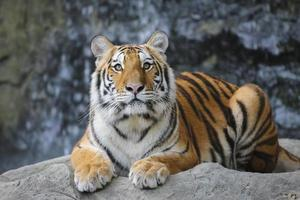 tigre de sumatra foto