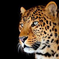 retrato de leopardo foto