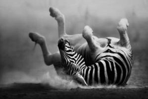 zebra rolando na poeira foto