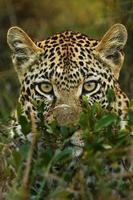 tímido leopardo na África