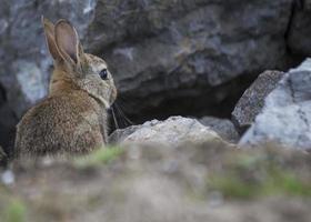 coelho entre as rochas foto