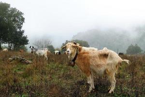 cabras pastando. foto
