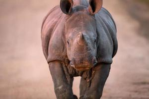 cobrando bebê rinoceronte branco foto
