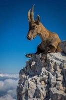 íbex na montanha foto