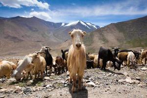 cabra do himalaia foto