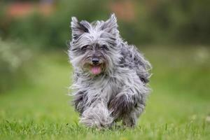 cão de pastor dos Pirineus ao ar livre na natureza foto