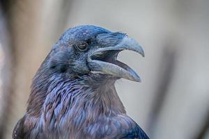 corvo do norte foto