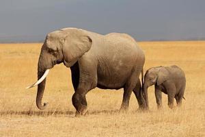 elefante africano com bezerro