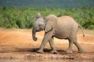 jovem elefante africano