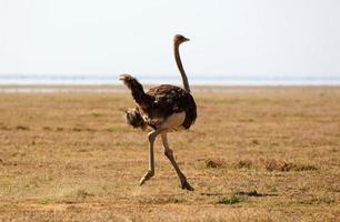 avestruz africano