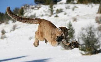 leão da montanha pulando foto