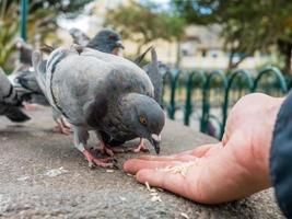 pombos comendo arroz mão