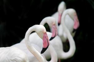 flamingos brancos foto