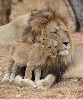 adulto com filhote de leão bebê na África do Sul