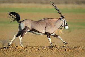 antílope gemsbok em execução