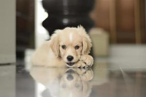 filhote de cachorro golden retriever foto