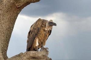 abutre na árvore. parque nacional do quênia foto