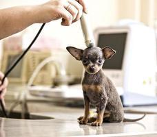 terrier de brinquedo examinado em hospital de animais