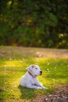 feliz golden retriever fica na grama no verão