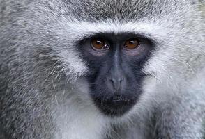retrato de macaco vervet foto