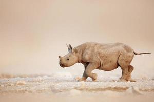 bebê rinoceronte preto correndo